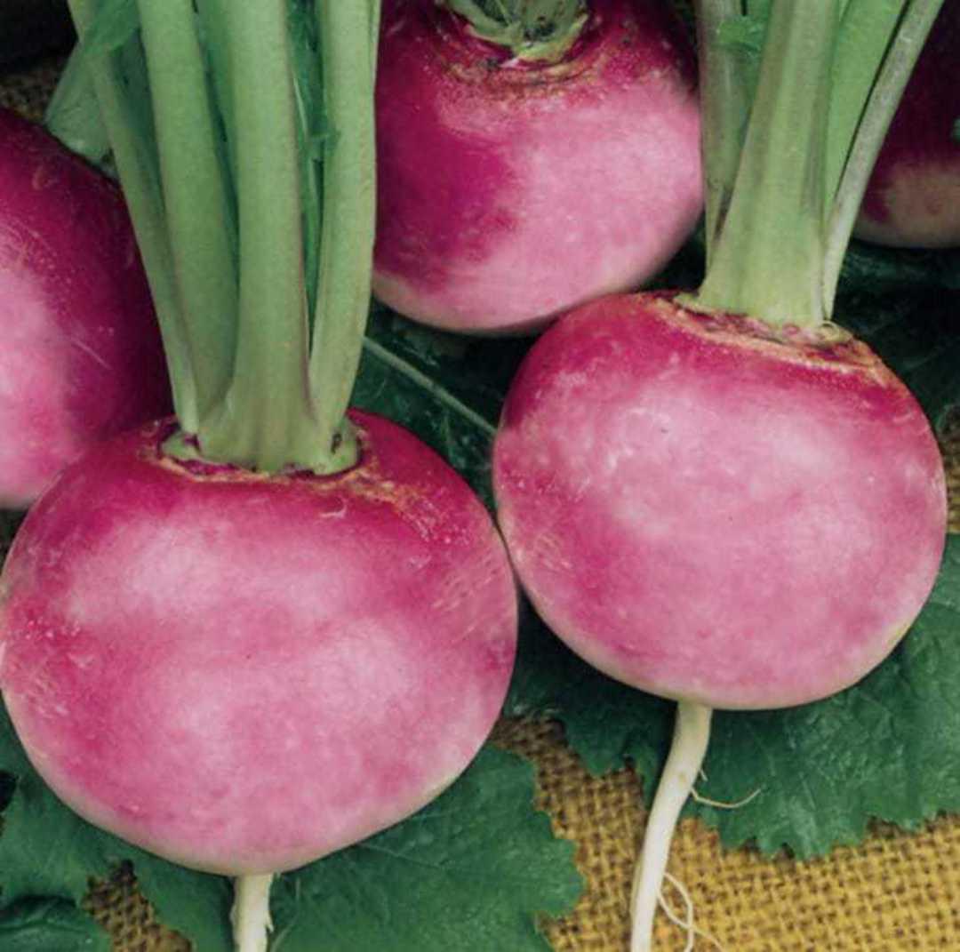 Organic Radish Pink Beauty -  rose pink round radish