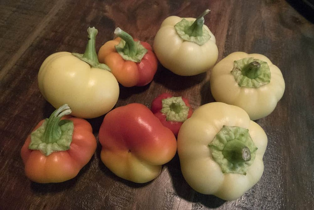 Pepper Alma Paprika - thick walled 5cm sweet peppers