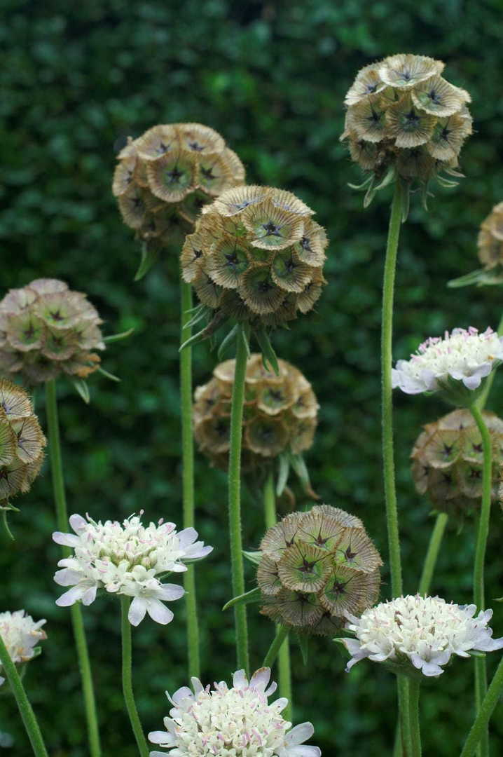 Scabiosa Starball - A dried flower beauty