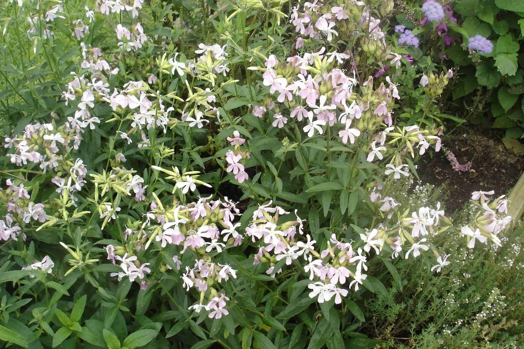 Soapwort - creeping plant with smooth dark green leaves
