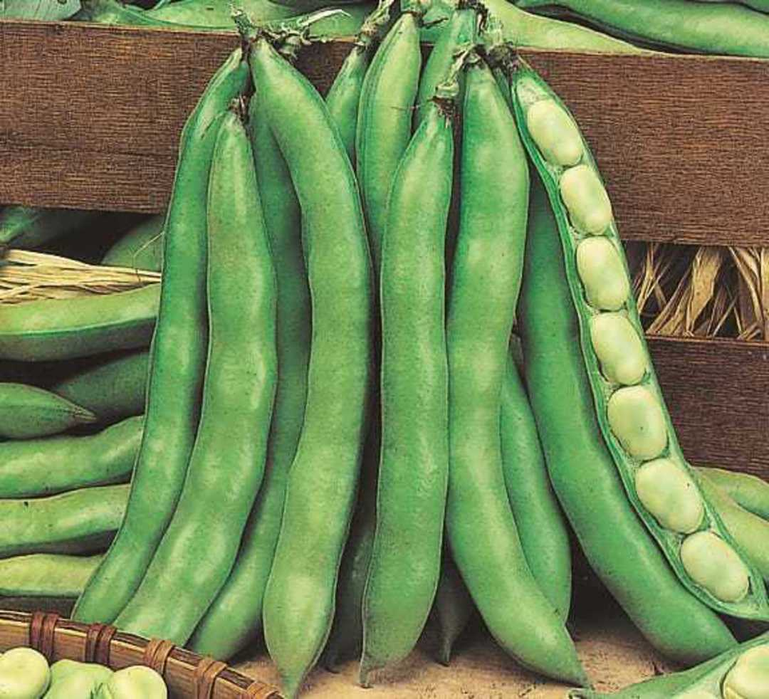 Broad Bean Superaguadulce pods with wooden background