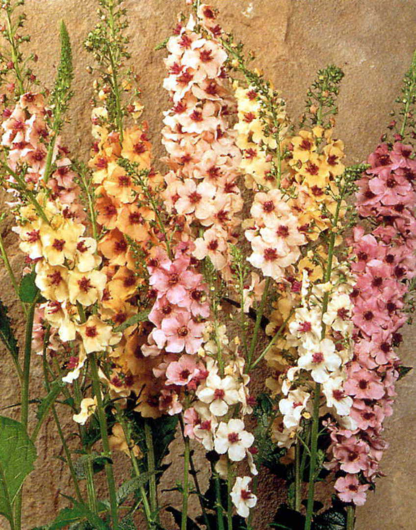 Verbascum Southern Charm image 0