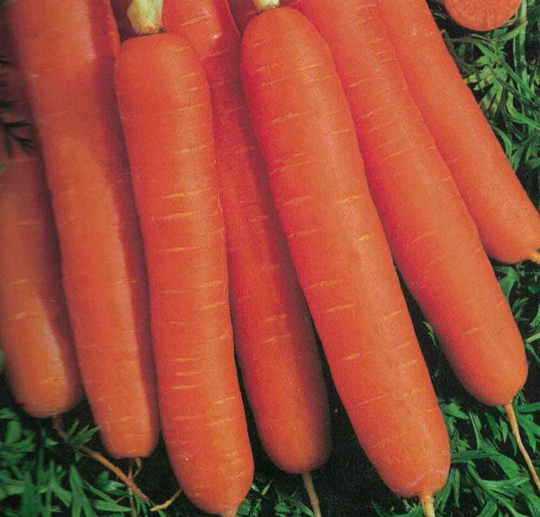 Carrot Scarlet Nantes - bright orange cylindrical carrots on grass