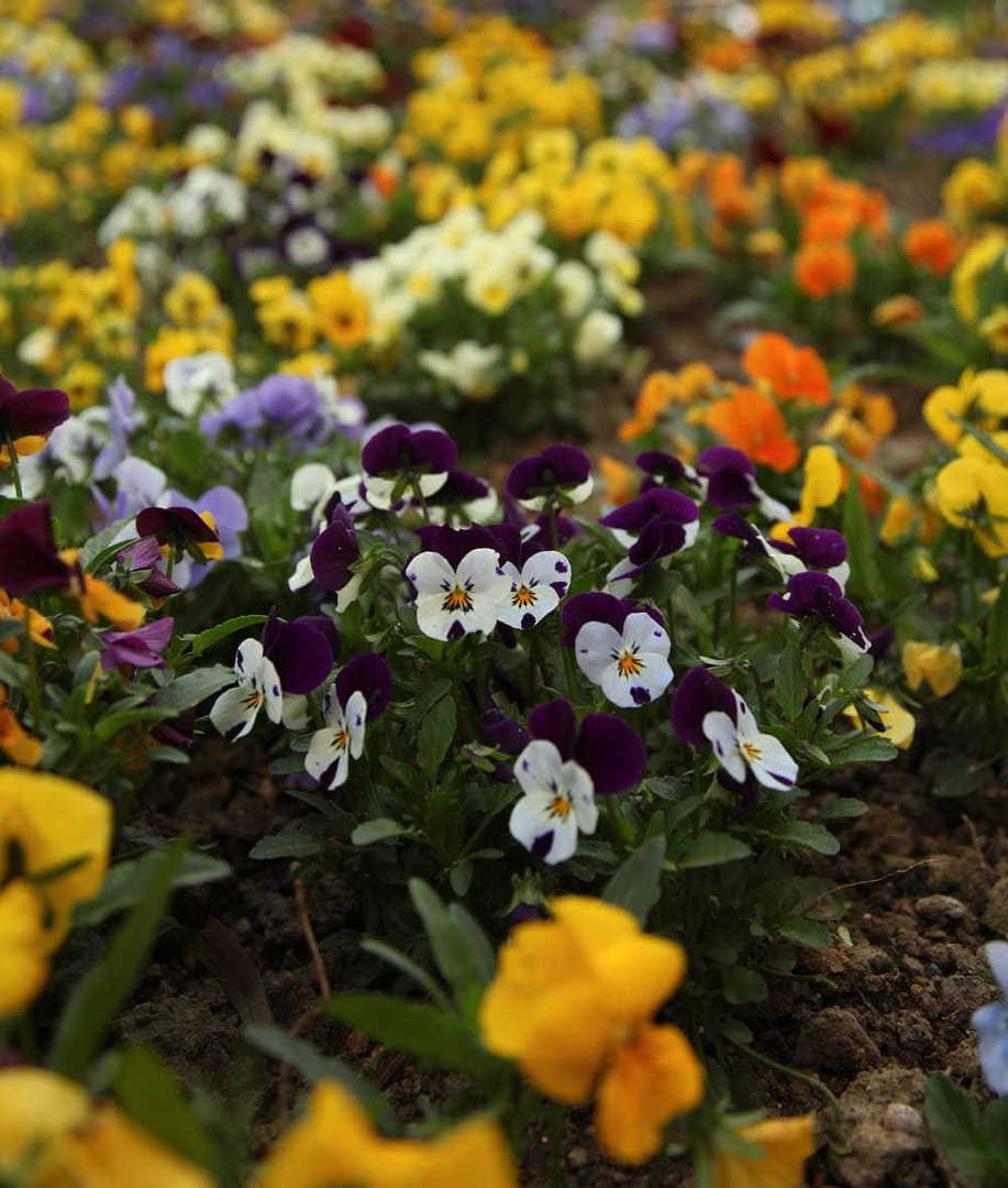 Viola Edible Flower Mix image 0