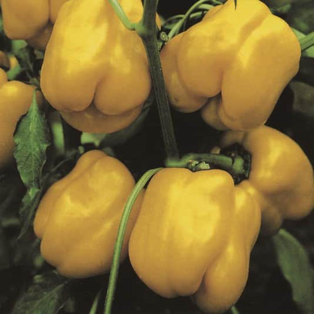 Pepper Californian Wonder Golden -
