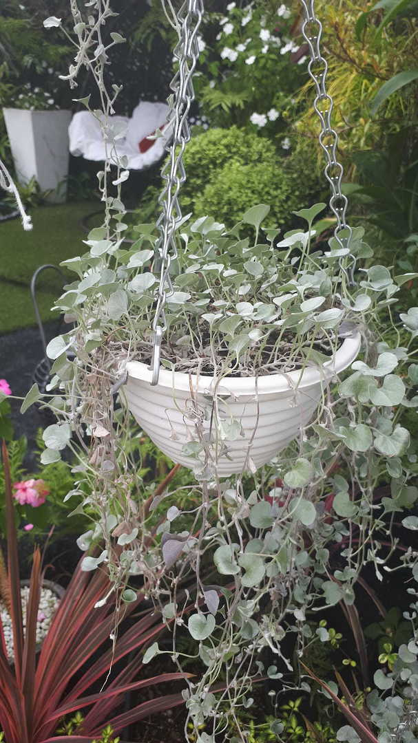 Dichondra Silver Falls -  Silver leaved plant for hanging baskets
