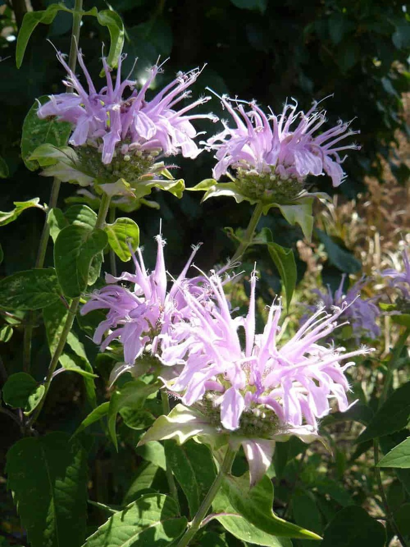 Bergamot Lemon -  pretty in white or pink with purple dots