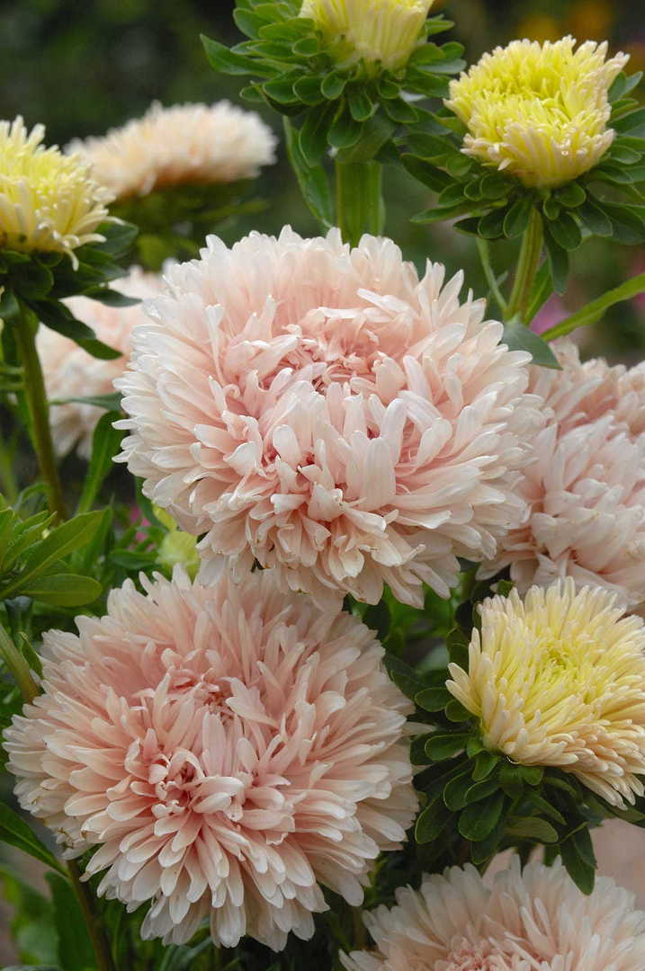 Aster King Size Apricot - unusual soft Orange/Apricot