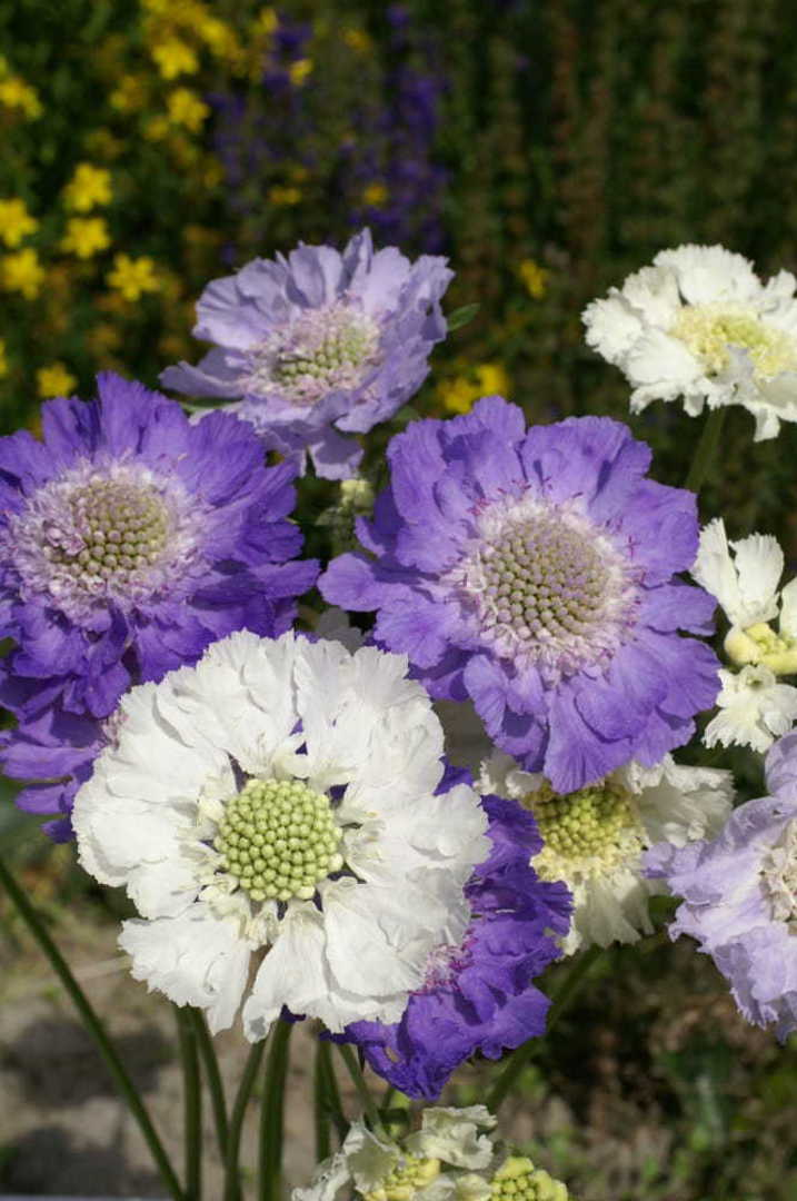 Scabiosa House Hybrids - large flowers with delightful fluffy centres