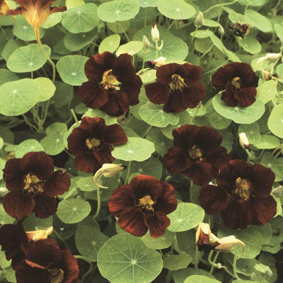 Nasturtium Top Flowering Black Velvet - Unique velvety Black top