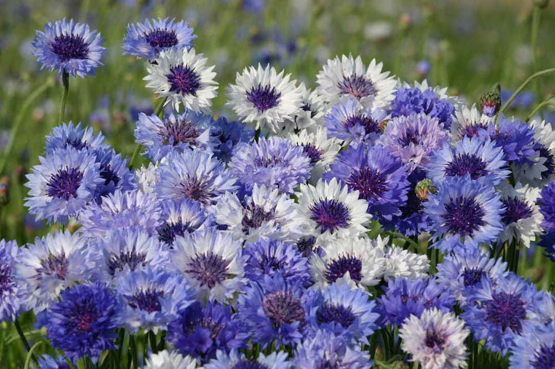 Cornflower Classic Fantastic -  mixture of Blue shaded Cornflowers