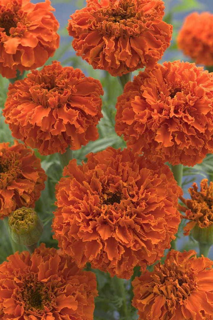 Marigold Kees Orange - Marigold with deepest Orange blooms