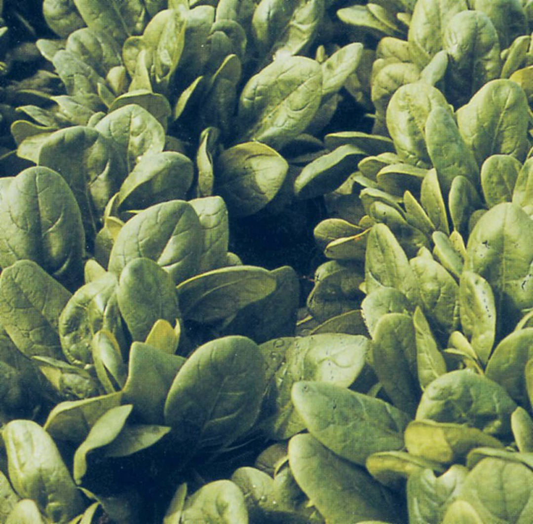 Spinach Santana -  Dark green, smooth, oval-shaped leaves