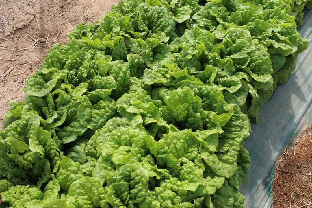 Lettuce Nero - High Quality green Romaine style