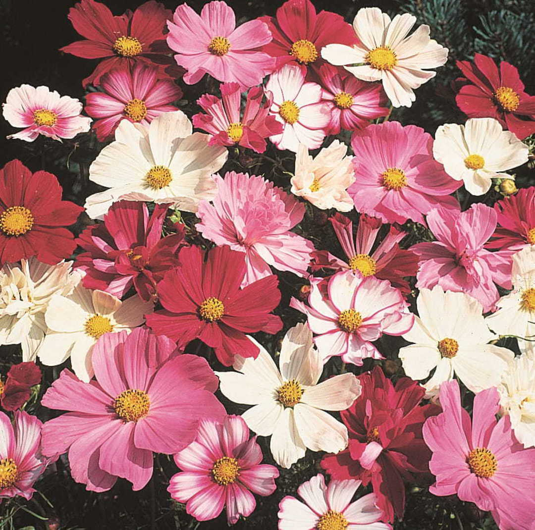 Cosmos Unique mixture -  A delightful assortment in a variety of colours