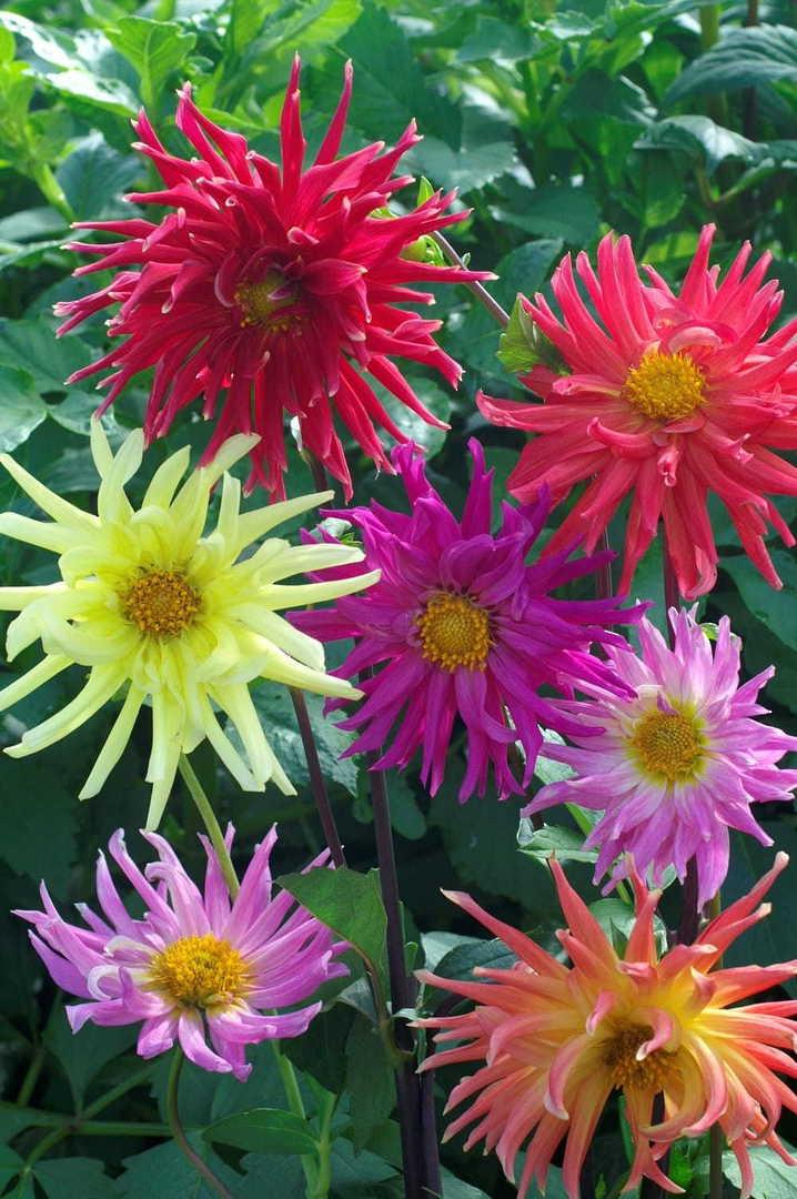 Dahlia Cactus Flowers - Spectacular semi-double flowering Dahlia