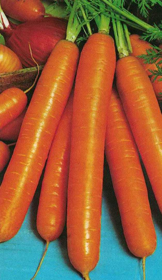 Carrot Touchon - Deep orange carrot with blunt tips