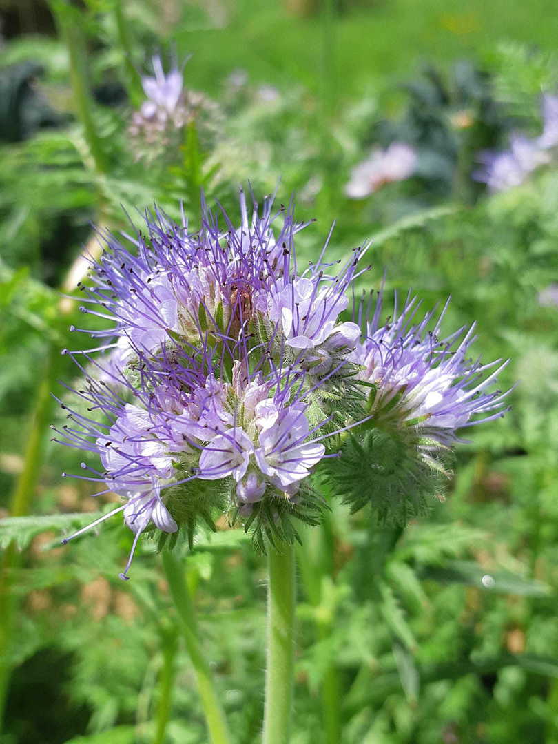 Phacelia Lacy - Lavender-Blue bell-shaped flowers