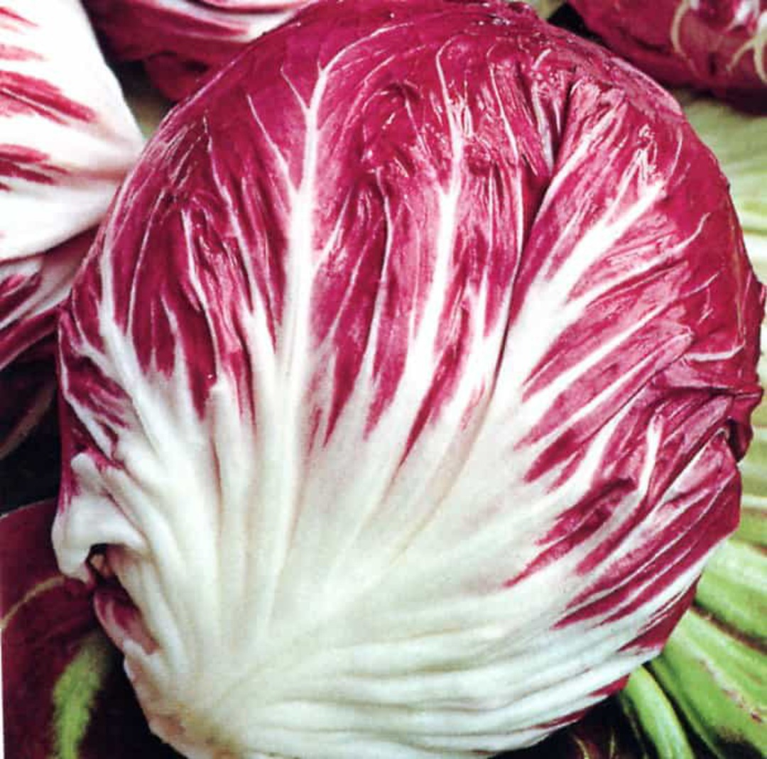 Chicory Fancy - Gorgeous dark red leaves and uniform large head