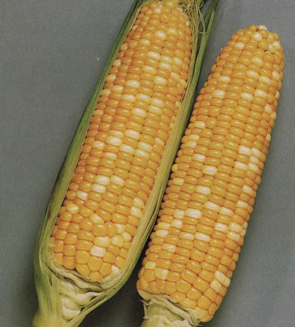 Corn Honey and Pearl - symmetrical, finely textured corn cobs