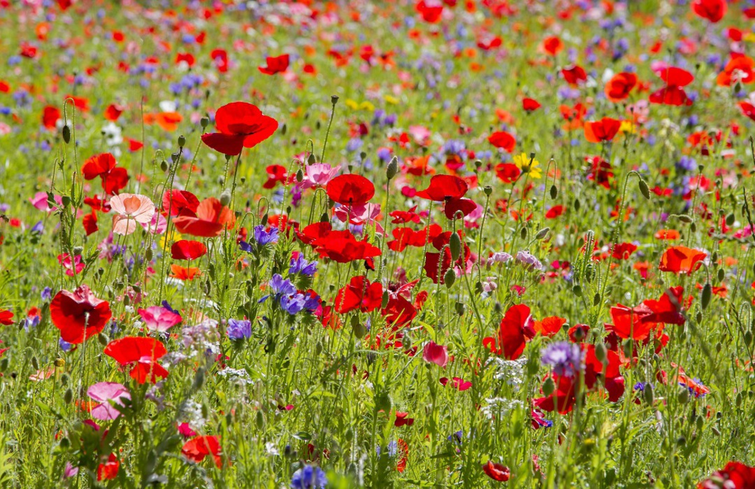 Poppy Fields of Colour image 0
