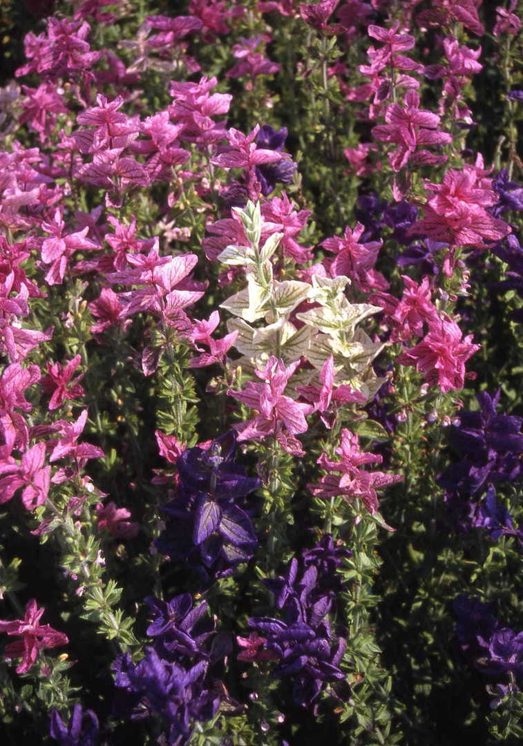 Salvia Tricolour Mix - coloured bracts of Violet Blue, Deep Pink or White