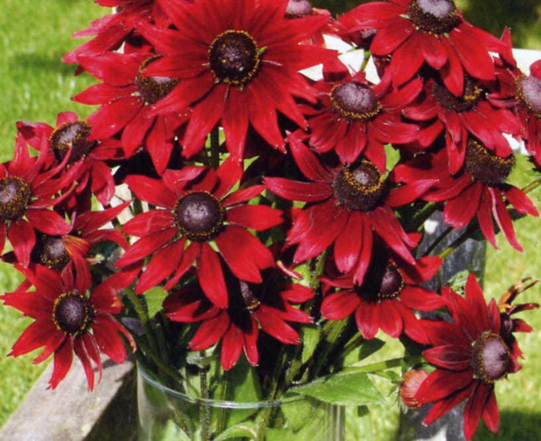 Rudbeckia Cherry Baby - shades of cherry Red