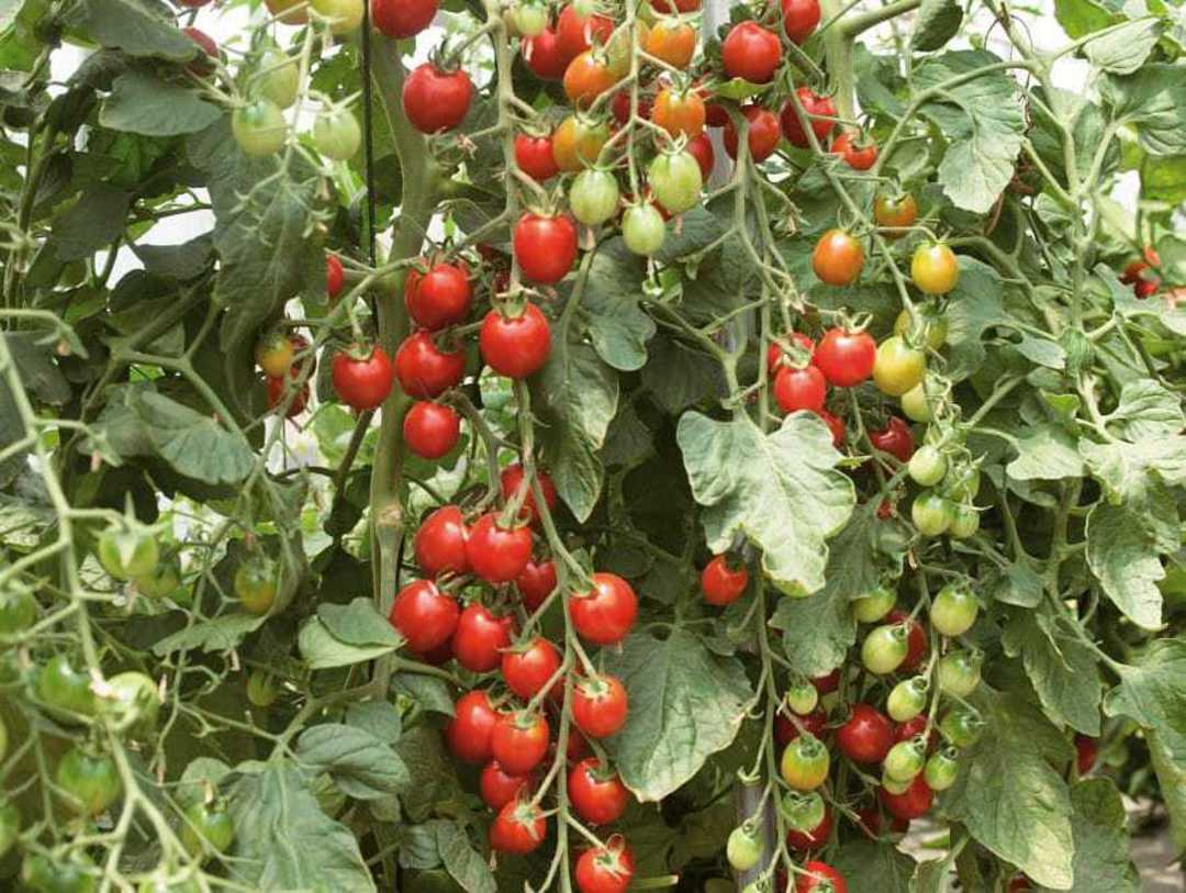 Tomato Cherry Berry F1 - Sweet and tangy red cherry tomato