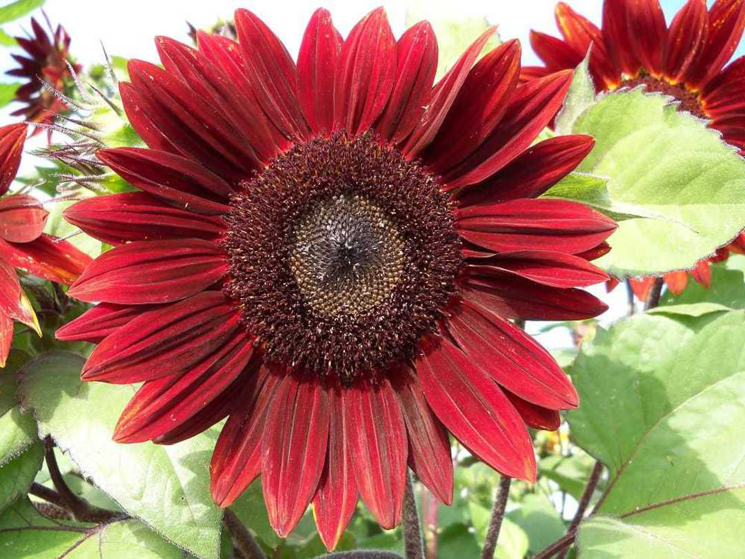 Sunflower Rouge Royale F1 - profusion of rich Burgungy Red pollenless flowers