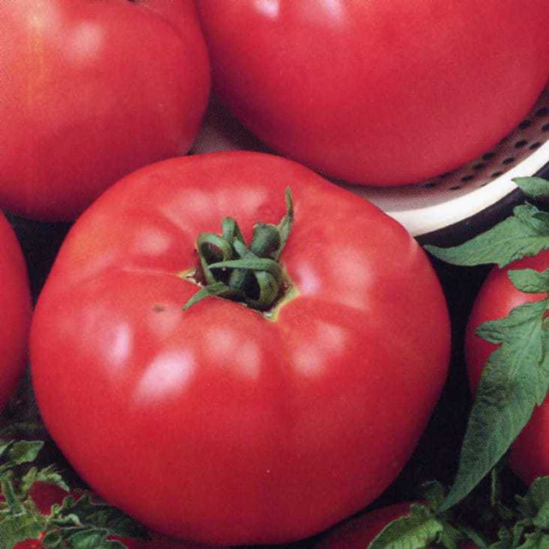 Organic Tomato Beefsteak Select - Meaty flesh is bright red