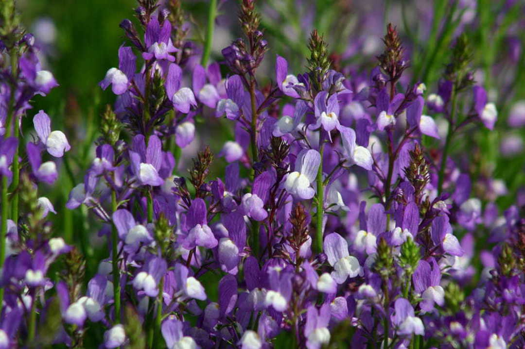 Linaria Licilia Azure - intermingle attractively with neighbouring plants