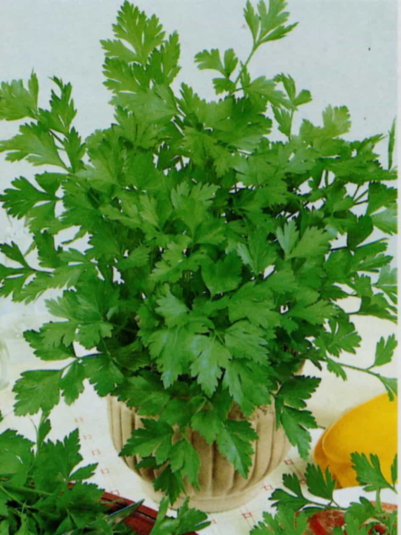 Parsley Laura - bright green leaves and a vigorous bushy habit