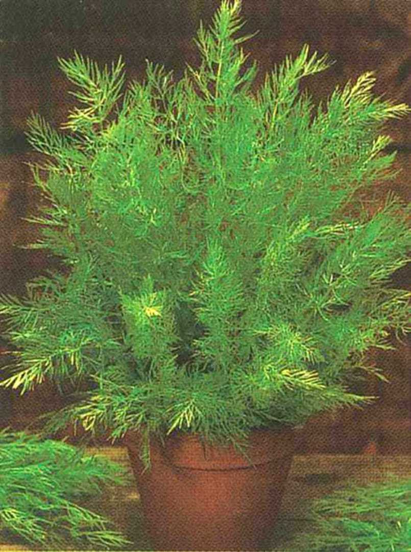 Caraway - seeds which add a licorice-like European character