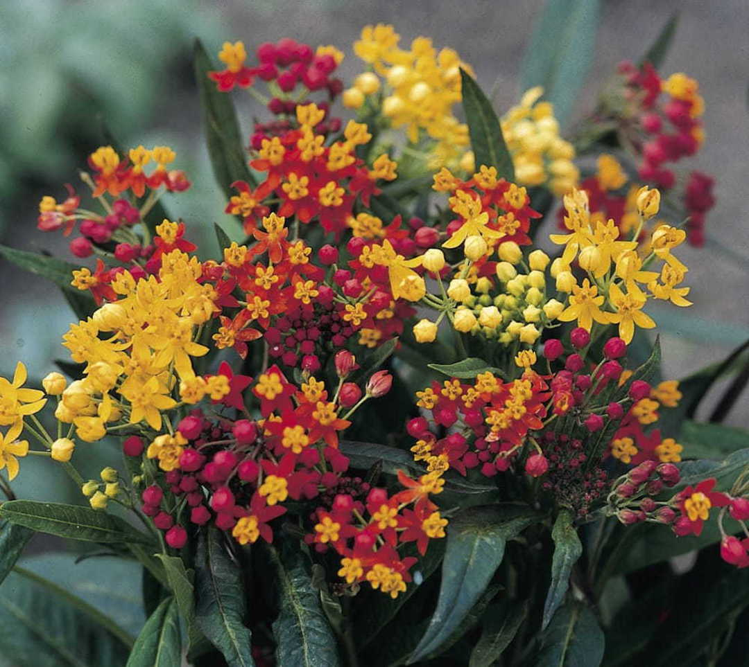 Asclepias Butterfly Flower Blend - Pink, White, Gold, Orange and Red