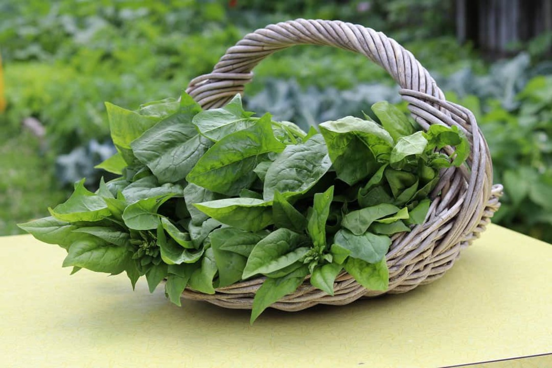 Spinach Medley - nutritious blend of 5 different spinach