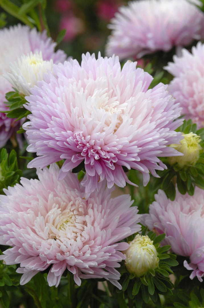 Aster King Size Appleblossom - Extra large size fully double Aster