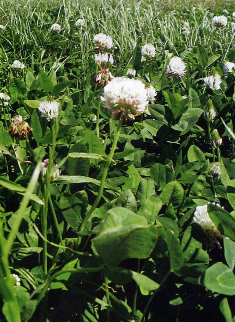 Herbal Ley for Grazing Animals