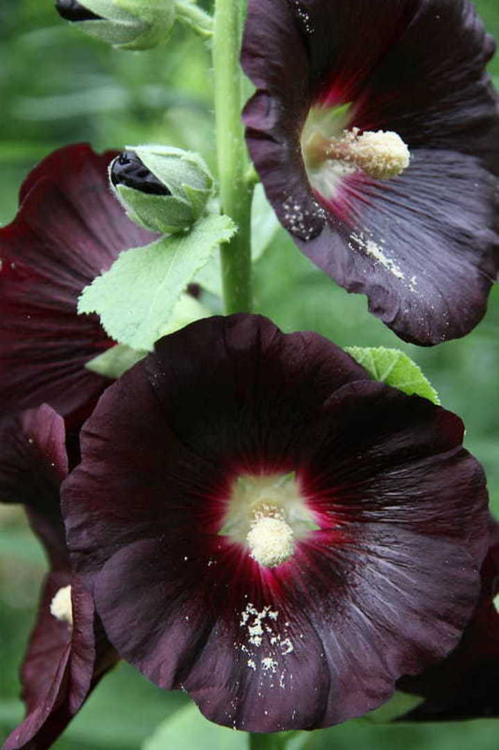 Hollyhock Jet Black - An unusual eye-catching addition