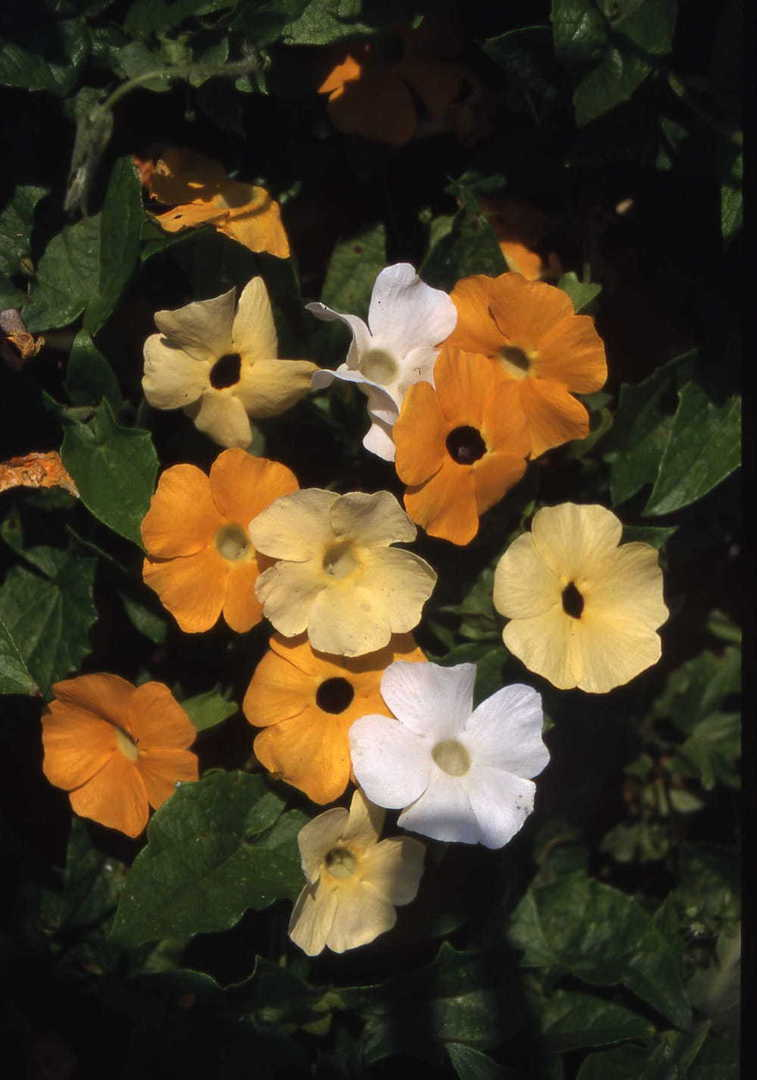 Blackeyed Susan Sunrise -Creamy White, Yellow and Orange flowers