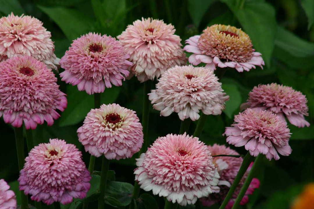 Zinnia Zinderella Lilac image 0
