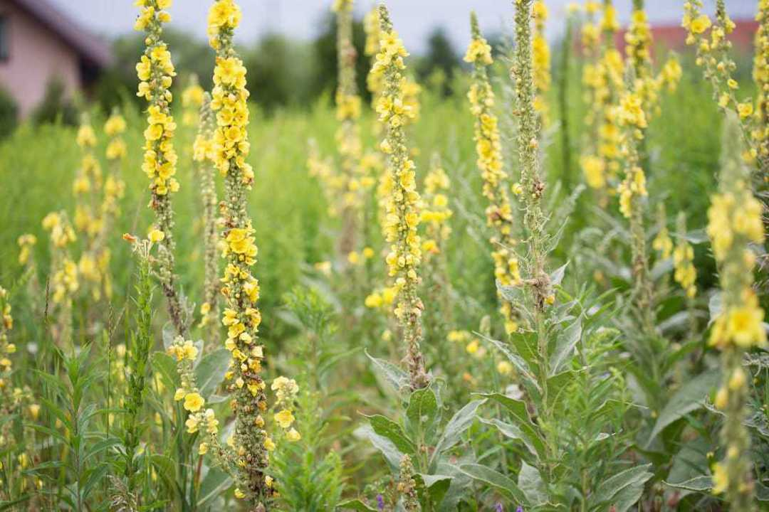 Mullein - dried yellow flowers and leaves
