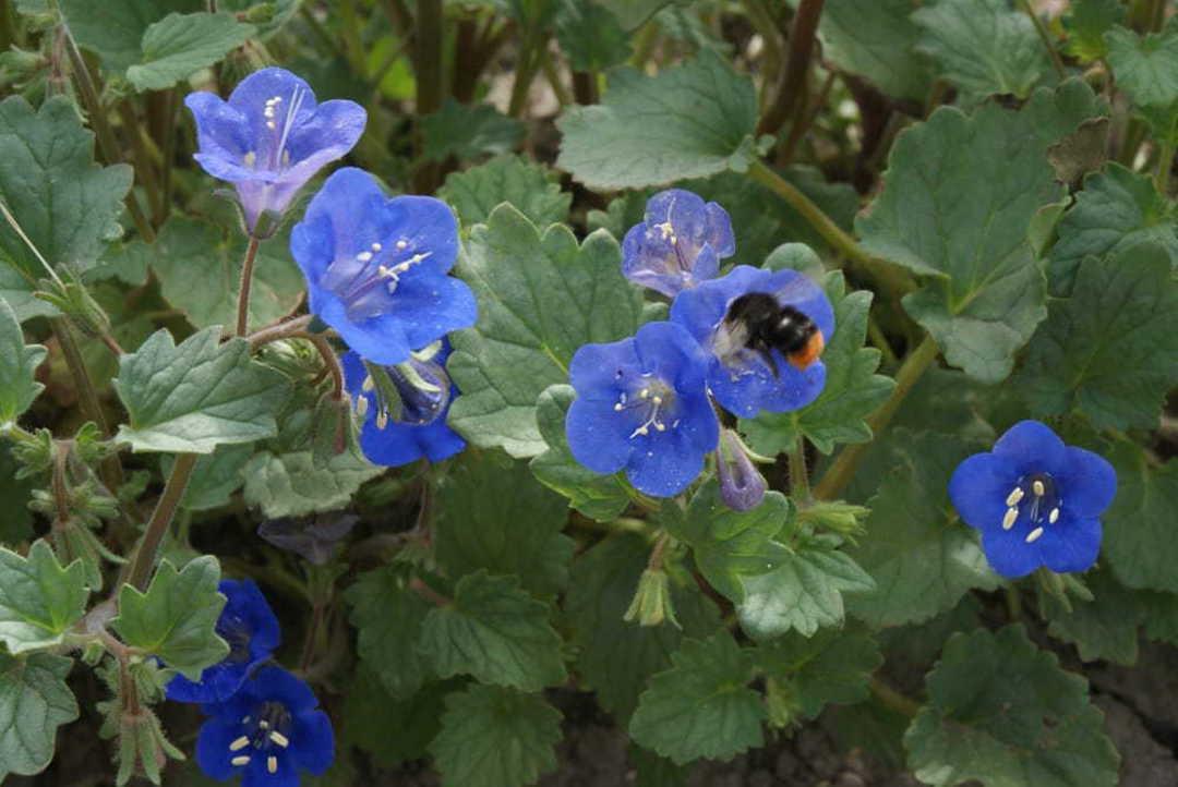 Phacelia Desert Bells - stunning Cobalt Blue flowers