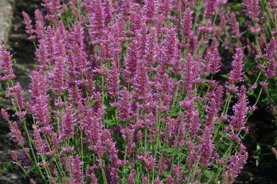 Agastache Arcado Pink -  floriferous purple pink flower spikes