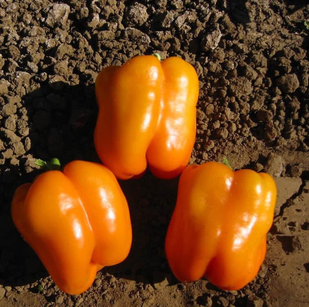 Pepper Orange Sun - Medium size blocky orange fruits
