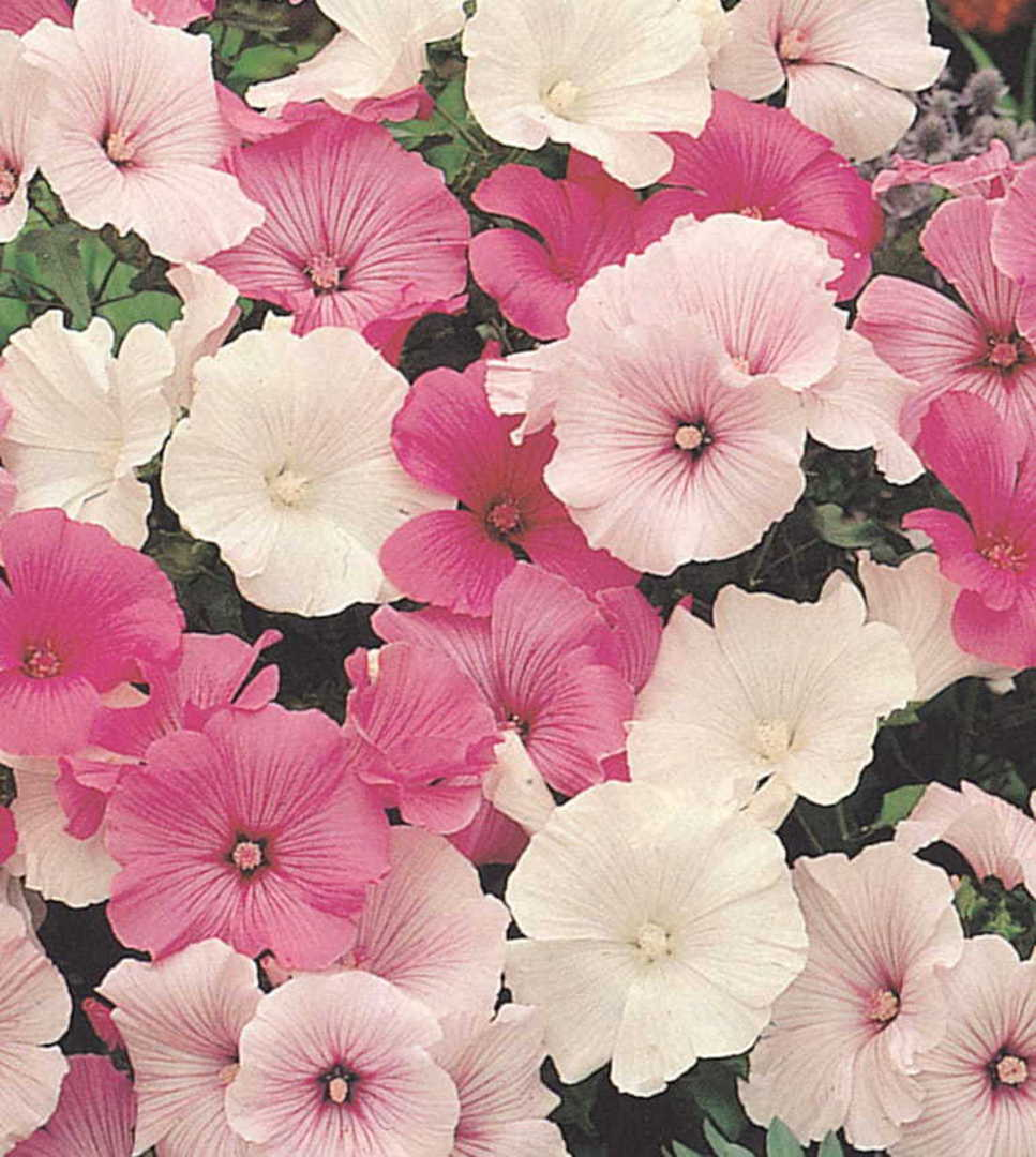 Lavatera Parade mixed - shades of Pink, Rose and glistening White