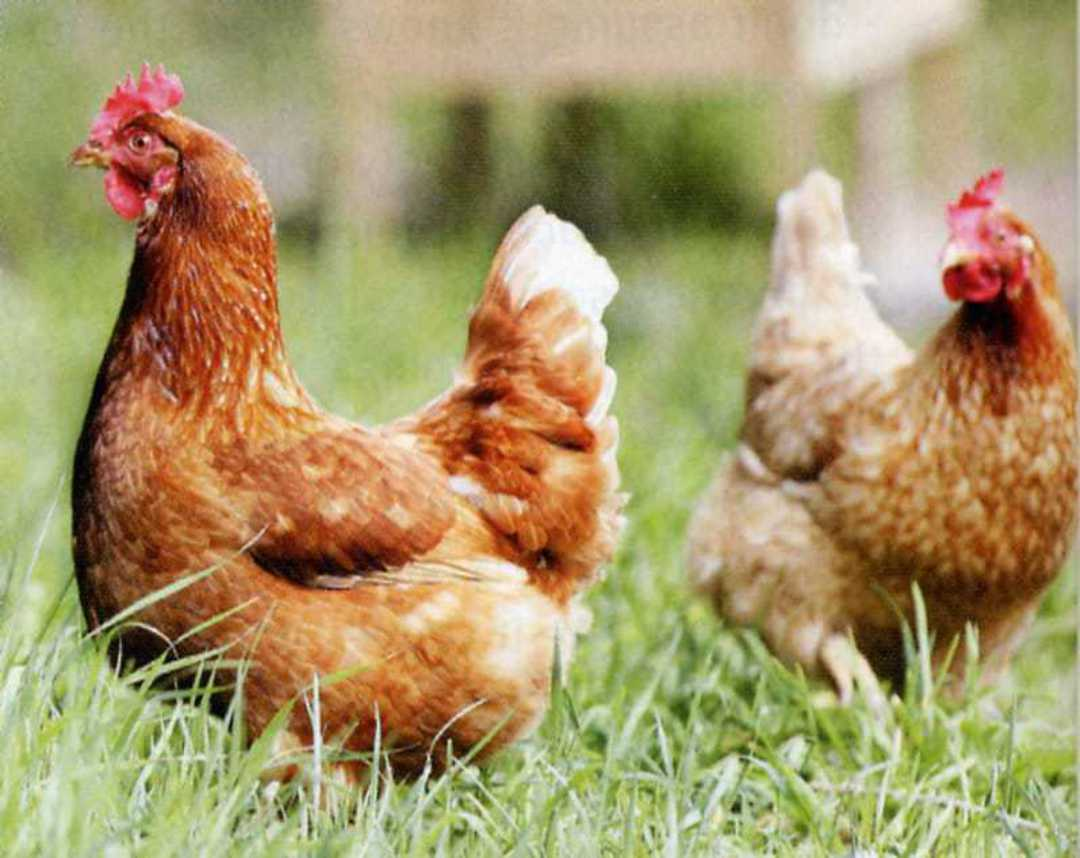 Chicken Greens