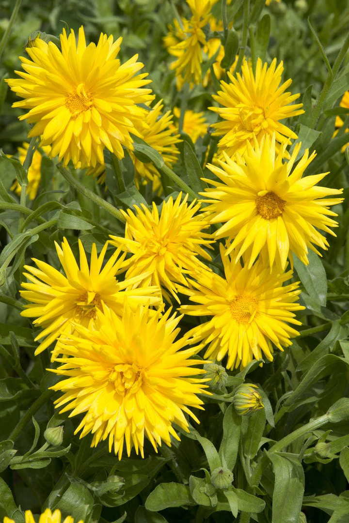 Calendula Yellow Porcupine - Bright yellow quilled petals