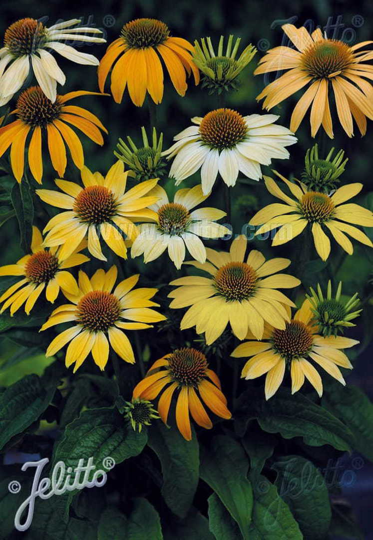 Echinacea Mellow Yellows -  coneflower in shades from Lemon to Golden Yellow