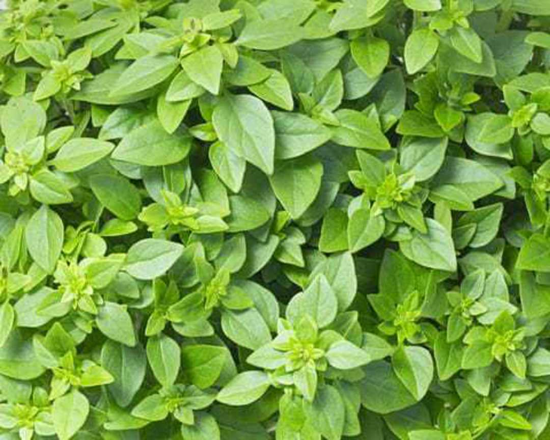 Basil Fino Verde - experts select to make the finest Pesto