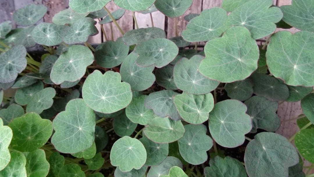 Nasturtium Leaves Blue Pepe Bulk Options image 0